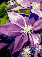 Purple Clematis in Sunlight