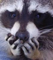 Raccoon Hands