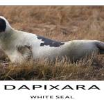 """White Seal Poster"" by Black_White_Photos"