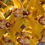 """Orchids2007 yellow bunch"" by MCsomeone"