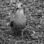"""Seagull in Mono"" by simonadams"
