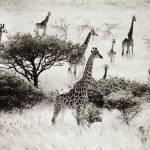 """""""Giraffes Tala Africa"""" by RobynL"""