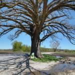 """""""McBaine Oak 4.14.2005"""" by notleyhawkins"""