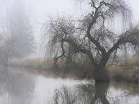 Scenic Tree Reflection on A Foggy Day2
