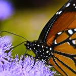 """""""BUTTERFLY UP CLOSE"""" by Shot12"""