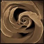 """Sepia rose"" by jfdupuis"