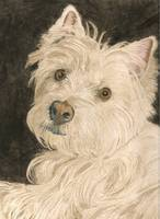 Katie the West Highland White Terrier