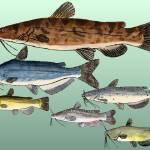 """Catfish Family Group"" by fishfolkart"