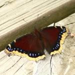"""Mourning Cloak Butterfly"" by jenofdiamond"