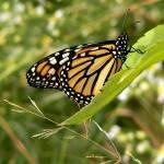 """""""Monarch"""" by jenofdiamond"""