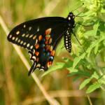 """""""Black Swallowtail"""" by jenofdiamond"""