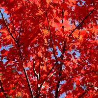 Autumn Maple Square