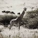 """Giraffe with Wildebeest"" by RobynL"