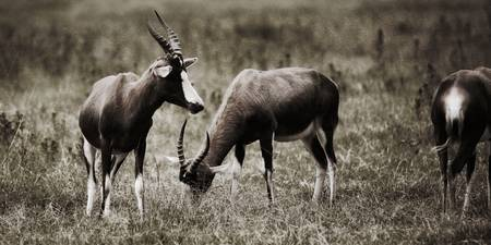 Blesbok Eating