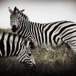 """""""Zebras"""" by RobynL"""