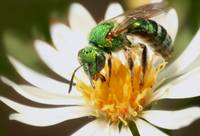 Metalic Green Bee