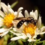 """Small Bee"" by jenofdiamond"
