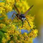 """Wasp IV"" by jenofdiamond"