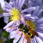 """""""Wasp"""" by jenofdiamond"""