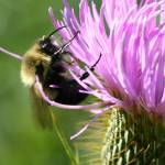 """Bumble Bee on Thistle I"" by jenofdiamond"