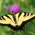 """Tiger Swallowtail"" by jenofdiamond"