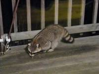A racoon steals the cat food