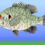 """""""Redear (Shell Cracker) Sunfish"""" by fishfolkart"""