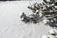Mountain Snow Pine