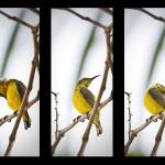 """Yellow Breasted Sunbird Triptychs"" by sparda"