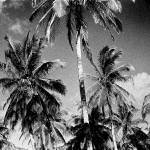 """Mozambique Palm Trees"" by antcousens"