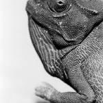 """Chameleon"" by antcousens"