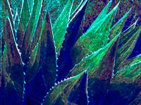 Agave Dream