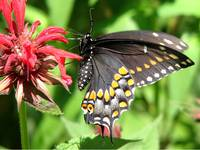 Black Swallowtail on Monarda