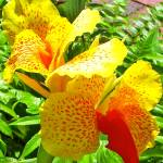 """Canna - Yellow/Red flower"" by BandMPhotography"