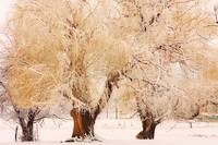 Three Golden Frosted Trees