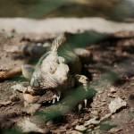 """""""Iguana"""" by MaiVera"""