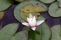 Beauty Of A Water Lily Flotting