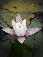A Waterlily On The Pond