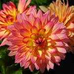 """Pink & Yellow Dahlia"" by budo"