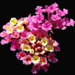 """Pink & Yellow Lantana Hybrid"" by budo"