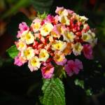 """Red, Pink & Yellow Lantana Hybrid"" by budo"