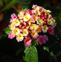 Red, Pink & Yellow Lantana Hybrid