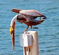 Brown Pelican with Itch