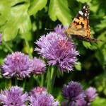 """Butterflies and Chives"" by JessicaShellPhotography"