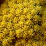 """Golden Yarrow"" by LauraBell"
