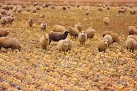 Sheep in Boulder County