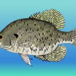 """Black Crappie"" by fishfolkart"