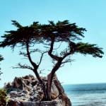 """Lone Cypress"" by Bob_Wall"