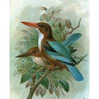 White-Throated Kingfisher (1897) Art Prints & Posters by Chad Arment