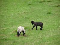 lambs playing around the English countryside